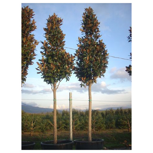 Magnolia Grandiflora Gallisoniensis std 4.5 - 5m / 16-18ft including pot height (180-200cm stem 20/25cm girth)