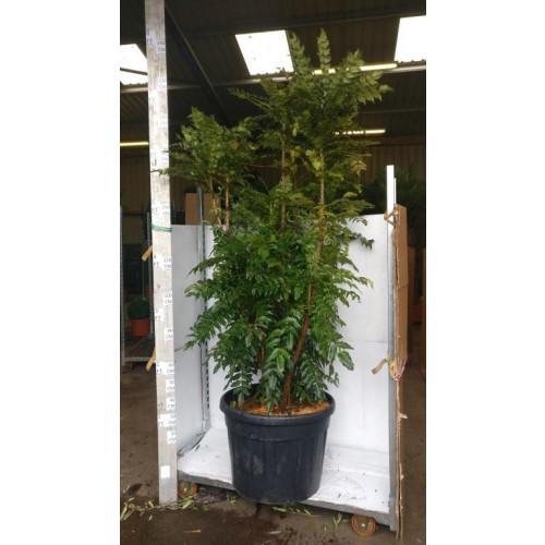 Mahonia Media Charity 210CM/7FT plant height