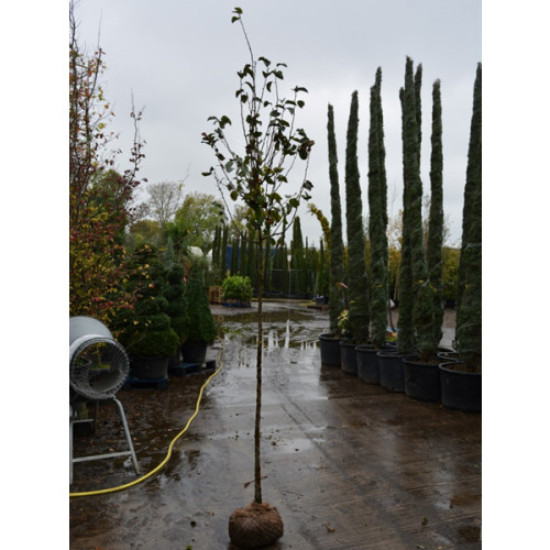 Malus John Downie 10/12 gith 1.5m clear stem 10 feet planted
