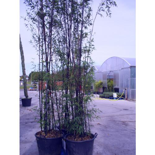 Black Bamboo Phyllostachys Nigra, 500/550cm, EXCLUDING pot height