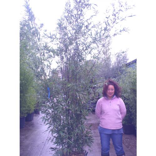 Black Bamboo Phyllostachys Nigra, 300/350cm, EXCLUDING pot height