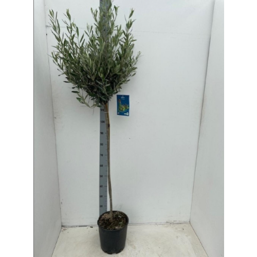Olive Tree 140cm / 4ft 6in including pot height