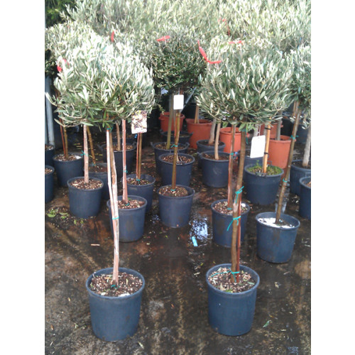 Olive Tree clipped head 160cm/5ft 3in including pot height 45-50cm head