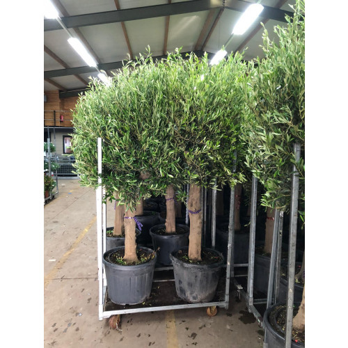 Olive Tree 7ft tall including pot height 30/35cm girth trunk