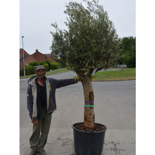 Olive Tree 280cm / 9ft 2in including pot height 50/60cm girth trunk