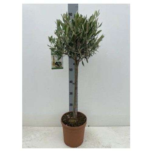 Olive Tree 90cm / 3ft including pot height