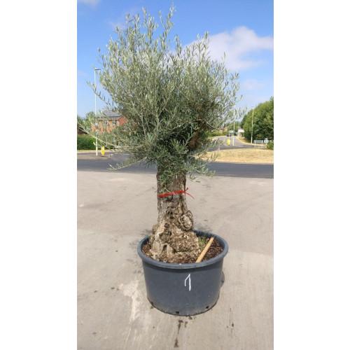Olive Tree 265cm/8ft 8in including pot height 95cm girth knarled trunk