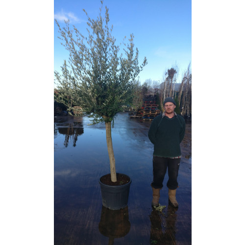 Olive Tree Tuscany Free Head 210cm / 7ft including pot height 20/25cm girth