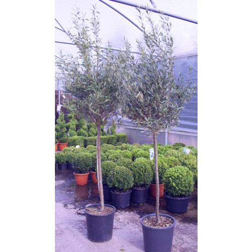 Olive Tree Tuscany Free Head 180 - 210cm / 6ft -7ft including pot height