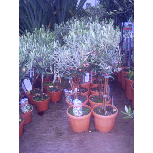 Olive Tree 85cm / 2ft 9in including pot height