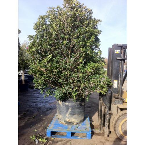 Osmanthus Aquifolium 9-10 feet high x 5 feet wide inc height of pot