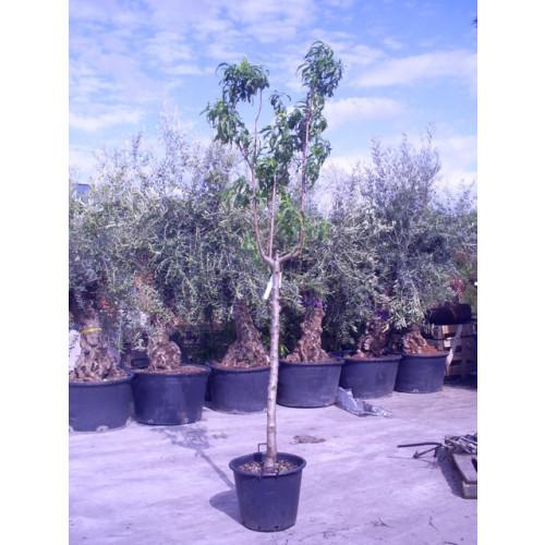 PRUNUS PERSICA (PESCO/PEACH) 9ft-275cmHeight of tree girth 16cm