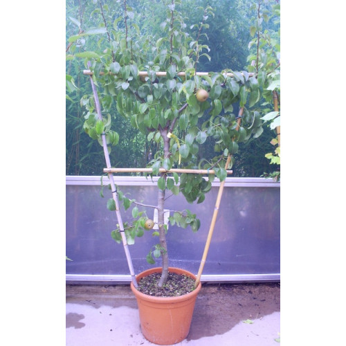 Fruit trees: Cherry 4 foot trellis - TAKING ORDERS FOR LATE OCTOBER