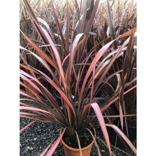 Phormium Evening Glow 10lt pot 70cm including pot