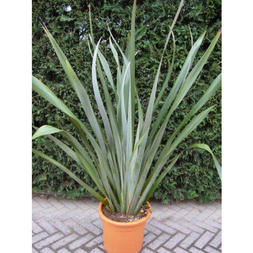 Phormium Flax Tenax Green 80cm / 2ft 6in including pot height