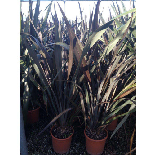 Phormium Flax Tenax Purpurem 110cm / 3ft 6in  including pot height