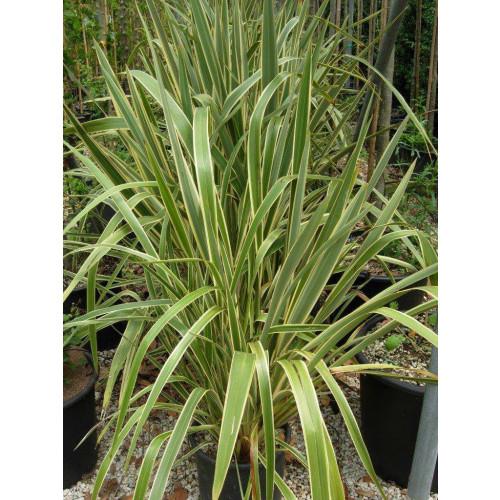 Phormium Flax Tenax Variegata 110cm / 3ft 6in including pot height
