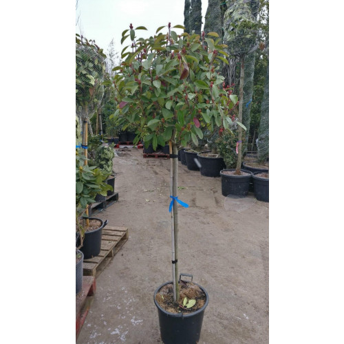Photinia Red Robin ball on stem 180CM / 6 FEET including pot, stem 90-100cm, 50cm diameter crown