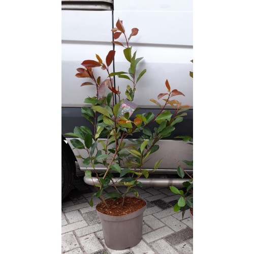 Photinia Red Robin 100-120cm plant height