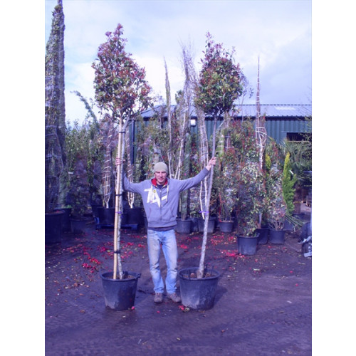 Photinia Red Robin Large Standard 1.8-2m Clear stem - 12/14cm girth -60cm Crown - 3m (Aprox) Planted Height