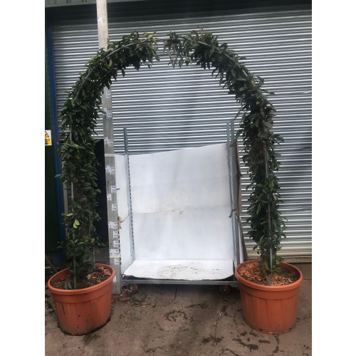 Photinia Red Robin Arch 250cm / 8ft 3in tall, 40cm wide