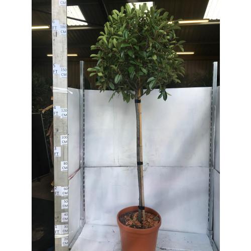 Photinia Red Robin ball on stem 200CM / 6ft 6in including pot, stem 100-120cm, 60-65cm diameter crown
