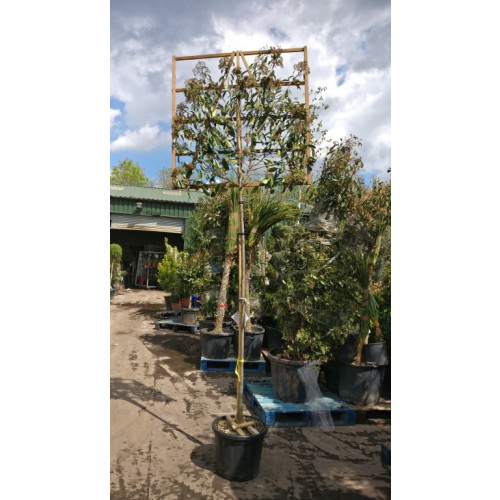 Photinia 'Red Robin' 2 Metre Clear Stem 8/10cm girth 120cm x 120cm Trellis - NEW THICKER GRADE - AVAILABLE NOW
