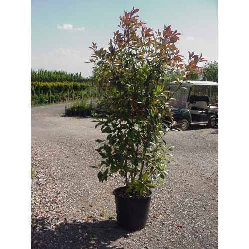 Photinia Red Robin, 200/250cm Excluding Pot Height