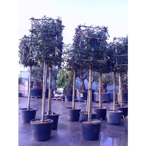 Photinia Red Robin on 6ft clear stem, Cube 80x80x100cm high