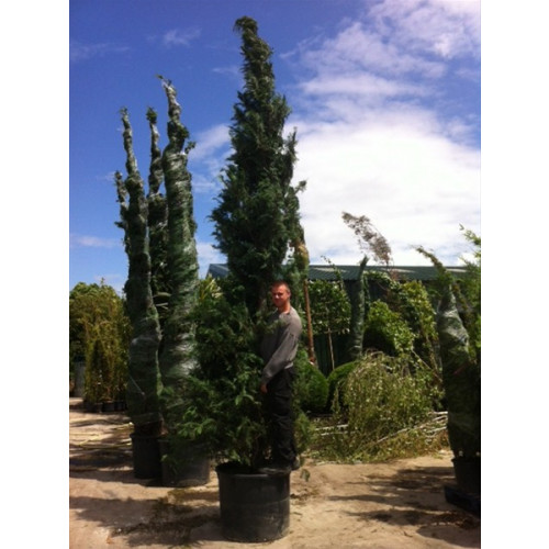 Leylandii Green Large 19 - 20ft   Plant Height does not include root ball