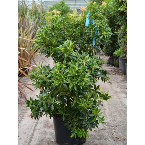 Pieris jap. 'Purity' 80-100CM (2-3 FT) PLANT HEIGHTin large 20 litre pot - SOLD OUT
