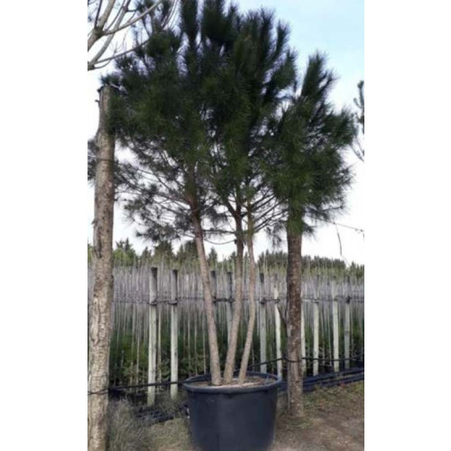 Pinus Pinea (Stone Pine), 3 stem, 350-400cm Planted Height