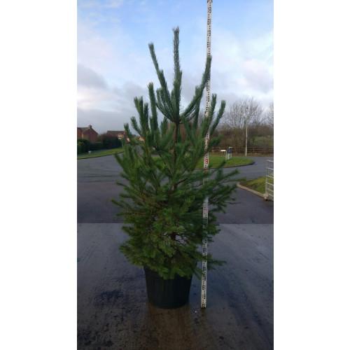 Pinus Sylvestris potted 10ft tall including pot, 180lt pot