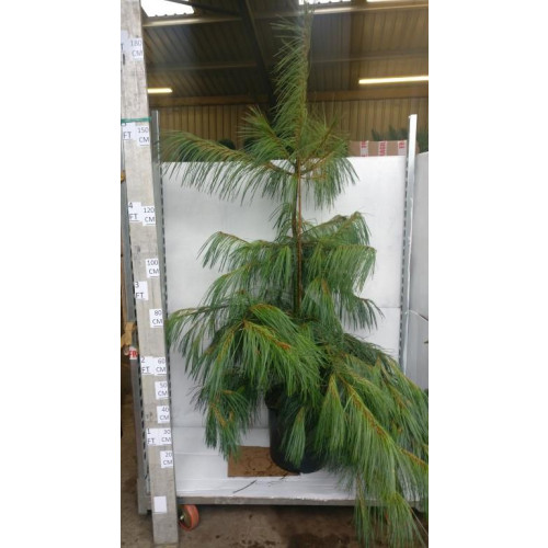 Pinus wallichiana 150/175cm 30lt pot