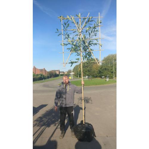 Laurel Pleached Prunus Laurocerasus 'CAUCASICA' Pleached 1.8m stem (8-10cm girth) 150cm high x 120cm wide trellis
