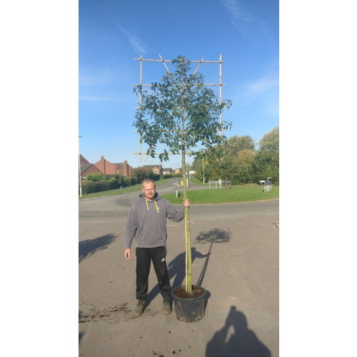 Portuguese Laurel Pleached ''Prunus Lusitanica'' 1.8m stem (12-14cm girth) 120cm high x 120cm wide trellis