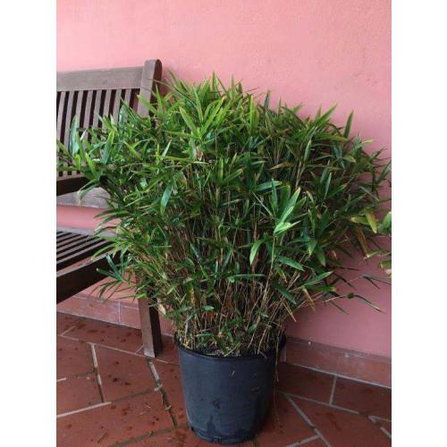 BAMBU: PLEIOBLASTUS SASA PUMILA Dwarf variety