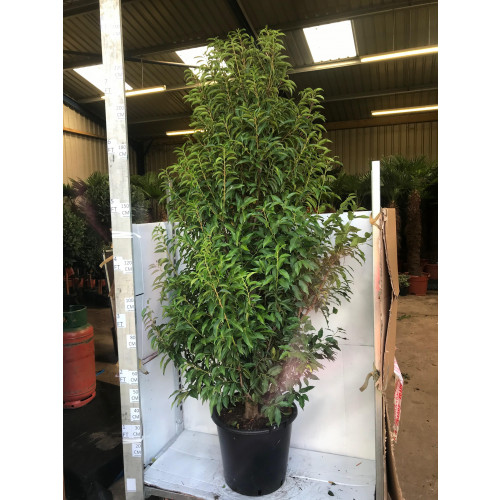 Prunus Lusitanica 9ft 6'' including pot height - loose cone shaped - READY TO PLANT NOW