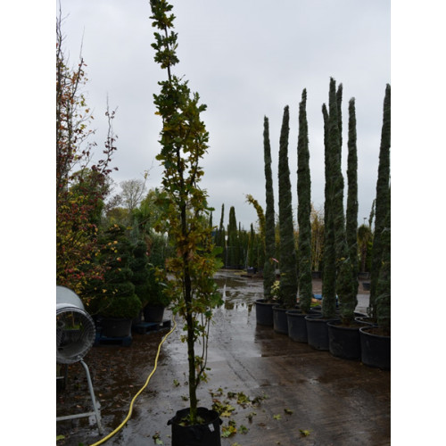 Quercus Robur Koster 12/14 girth 14 feet planted height upright fastigiate