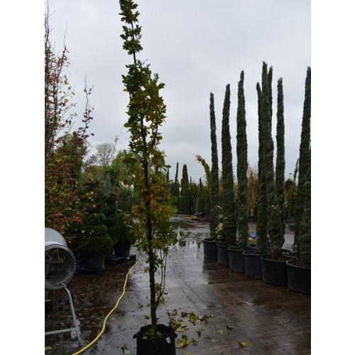 Quercus Robur Koster 12/14 girth 14 feet planted height upright fastigiate