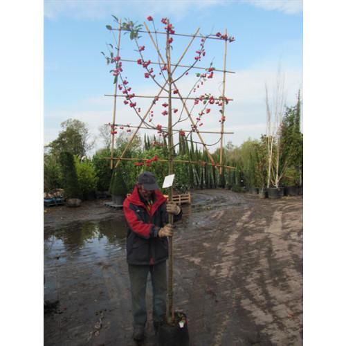 Malus ''Red Sentinel''  espalier ltd quan in container 1.8m stem 1.5m high x 1.2m wide espalier