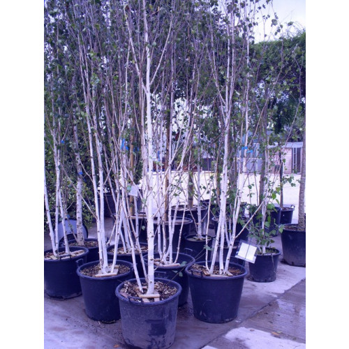 Silver Birch 2-3 stem (Betula Alba Verracosa) Ranges from 11ft - 15ft including POT HEIGHT