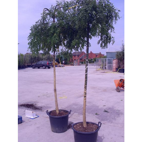 Sophora Japonica Pendula 9 feet high including height of pot