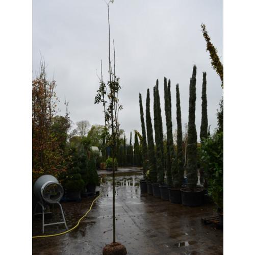 Sorbus Aucuparia rowan mountain ash  10/12 girth 1.8meter clear stem 13 feet planted height