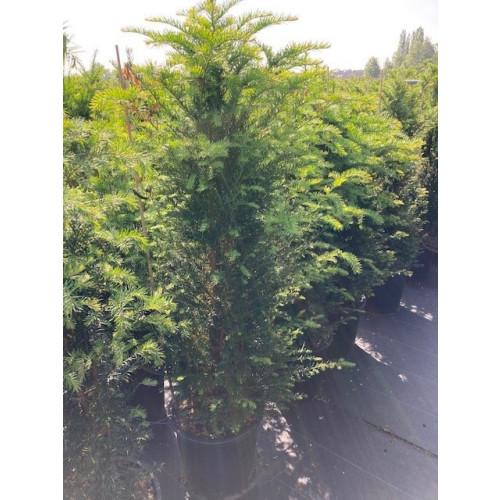 Taxus Baccata Hedging 120-150cm pot grown 25lt