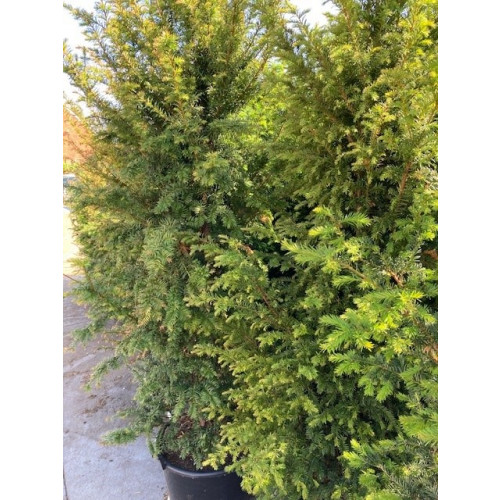 Taxus Baccata Hedging 175-200cm pot grown 50lt