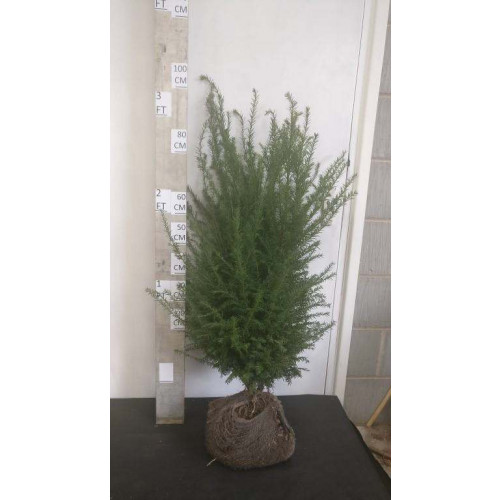 Hedging Taxus Baccata Rootballed 80-100cm plant height - AVAILABLE NOW