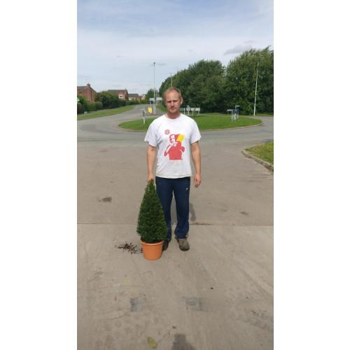 Taxus Baccata (English Yew) Cone 60cm