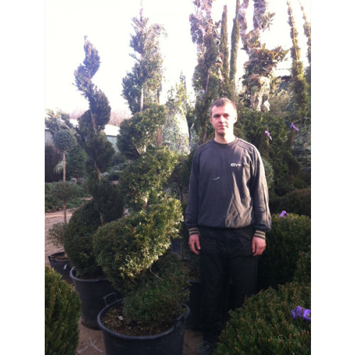 Taxus Baccata Yew Spiral 240cm/ 8ft including pot height