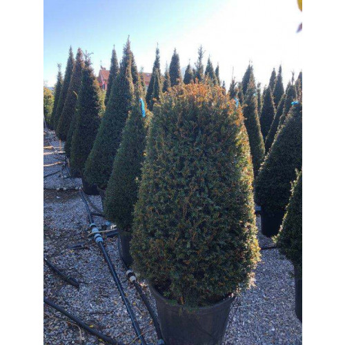 TAXUS BACCATA 120 D.90/100 beehive Clt.70/90
